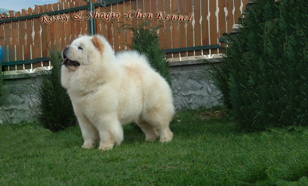 Rossy Chow Chow Kennel